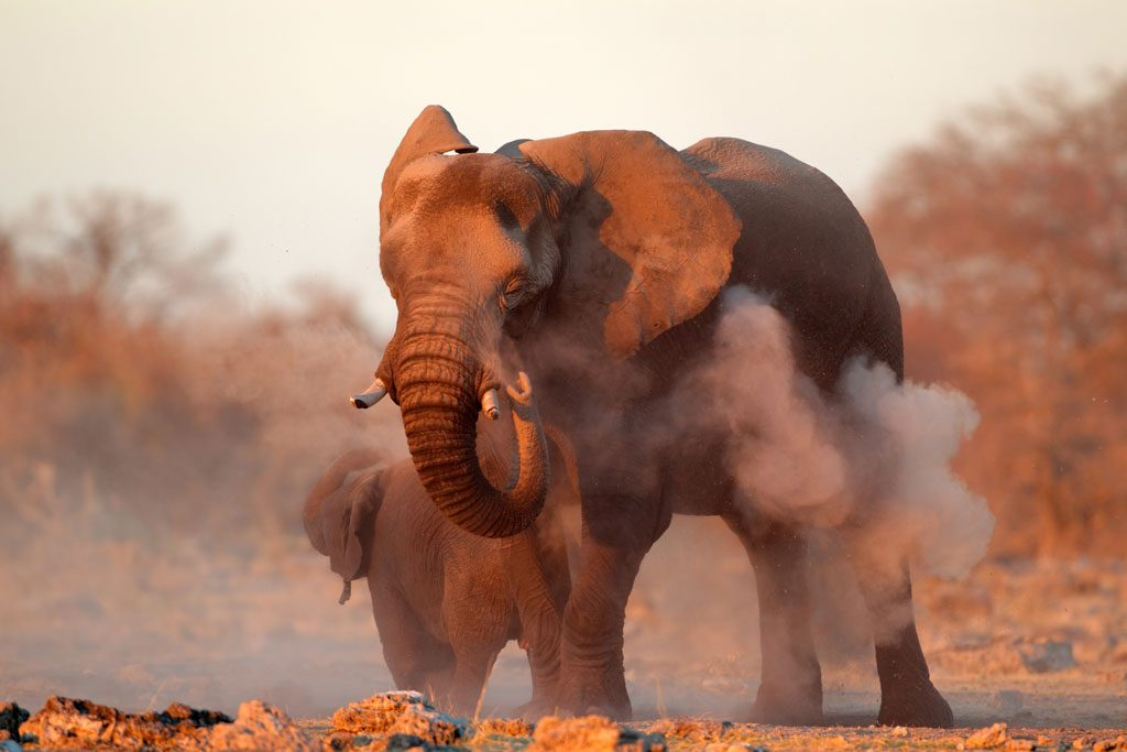 Etosha-Desert-Elephant-Dusting