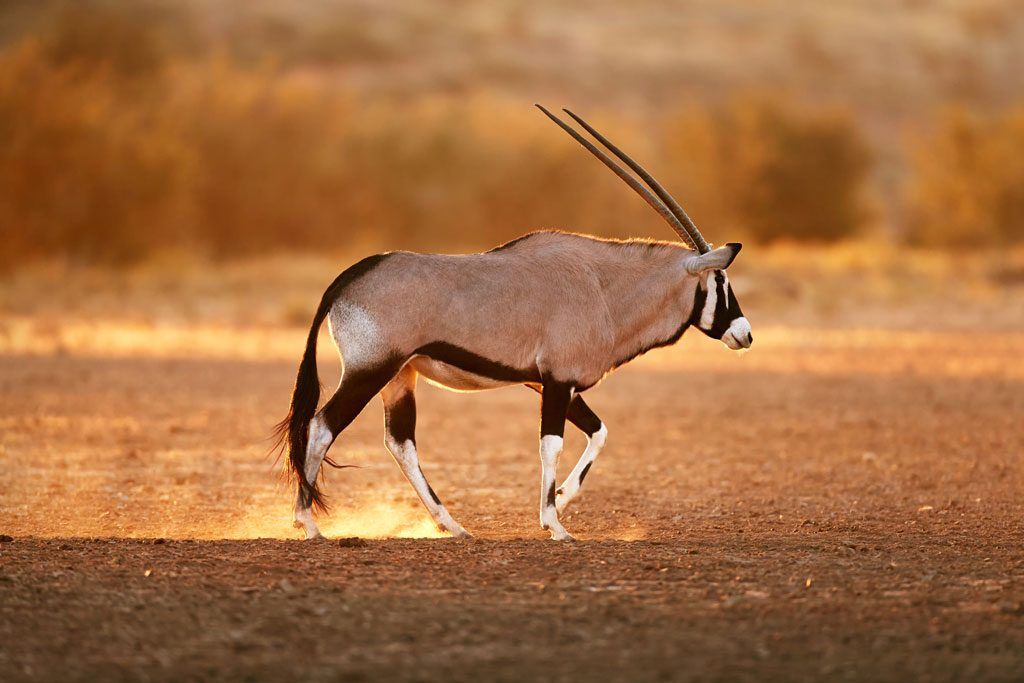 Gemsbok-Walking