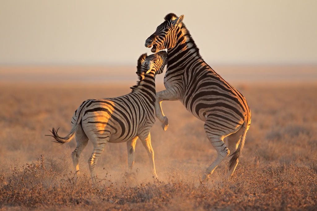 Etosha-Zebra-Stallions-Fighting